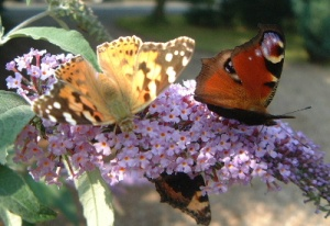 Butterflies love Buddlejas